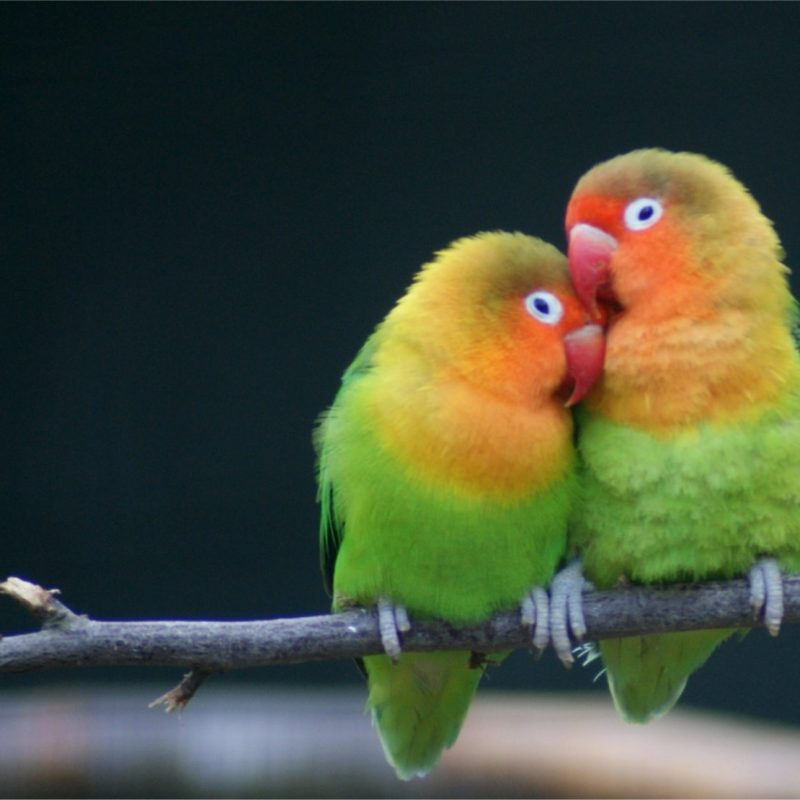 10 Latest Images Of Love Bird FULL HD 1080p For PC Background 2018 free download 1596x1110px lovebird 163 16 kb 278632 800x800