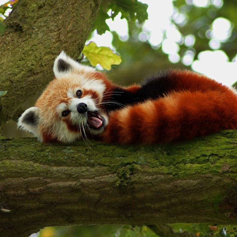 10 Top Red Panda Wallpaper 1920X1080 FULL HD 1920×1080 For PC Background 2018 free download 193 red panda hd wallpapers background images wallpaper abyss 1 800x800
