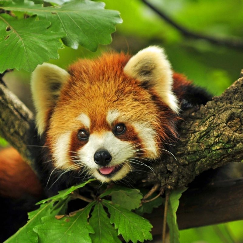 10 Top Red Panda Wallpaper 1920X1080 FULL HD 1920×1080 For PC Background 2018 free download 193 red panda hd wallpapers background images wallpaper abyss 800x800