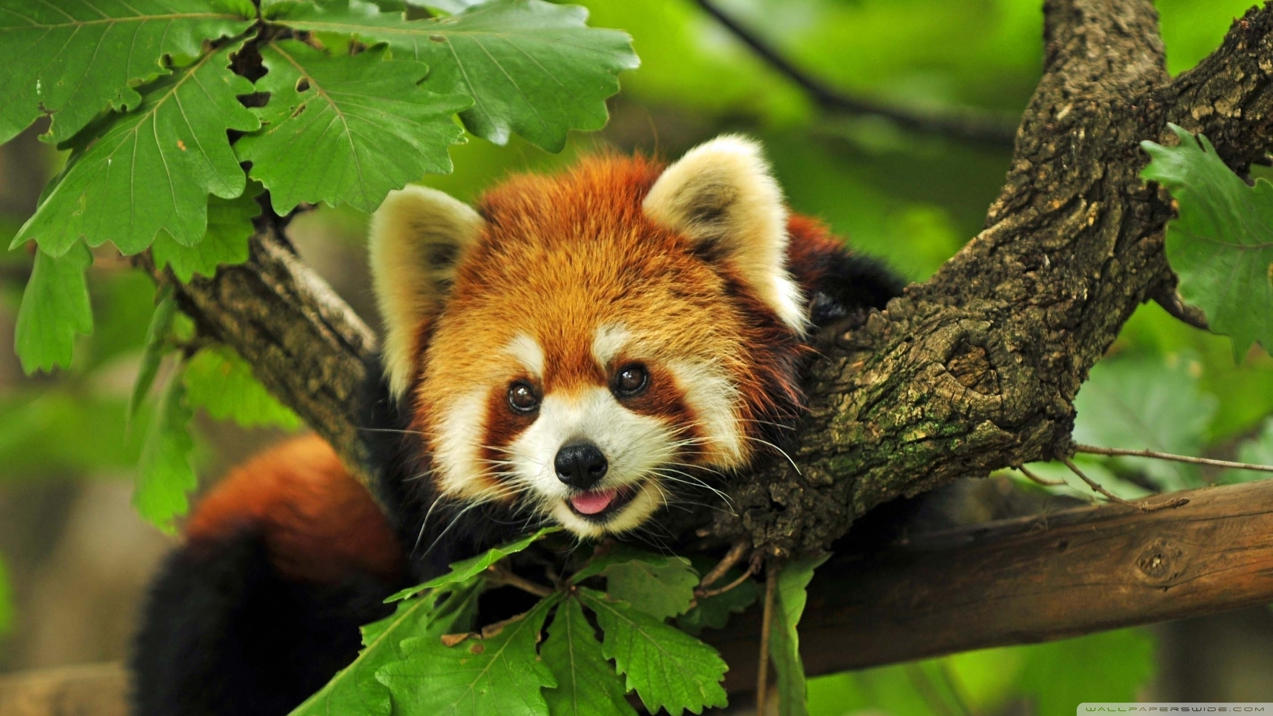 193 red panda hd wallpapers | background images - wallpaper abyss