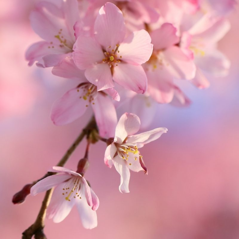 10 Top Cherry Blossoms Iphone Wallpaper FULL HD 1080p For PC Background 2018 free download 22 cherry blossom apple iphone 7 plus 1080x1920 wallpapers 800x800