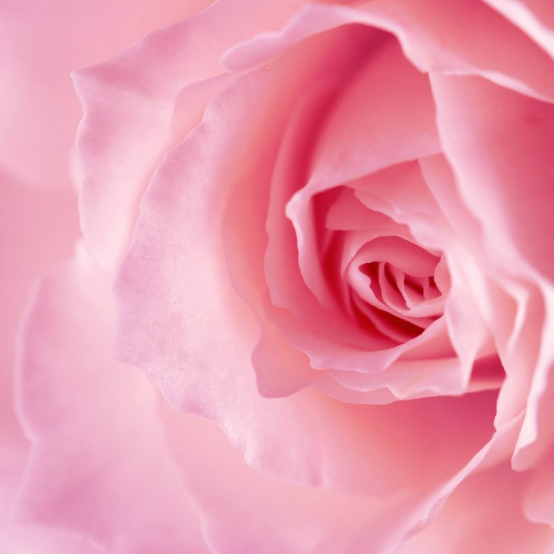 10 Latest Pink Rose Background Wallpaper FULL HD 1920×1080 For PC Background 2018 free download 2300 rose pink background 800x800