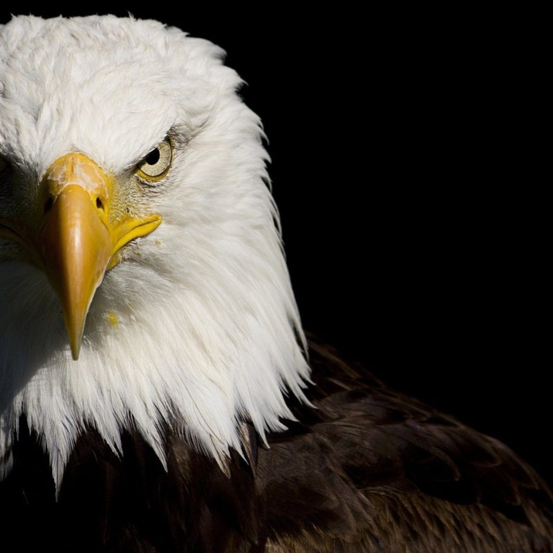 10 New Bald Eagle Wallpaper High Resolution FULL HD 1080p For PC Background 2020 free download 232 bald eagle hd wallpapers background images wallpaper abyss 800x800