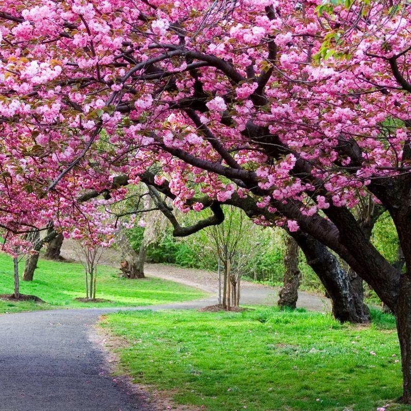 10 New Japanese Cherry Blossoms Wallpaper FULL HD 1080p