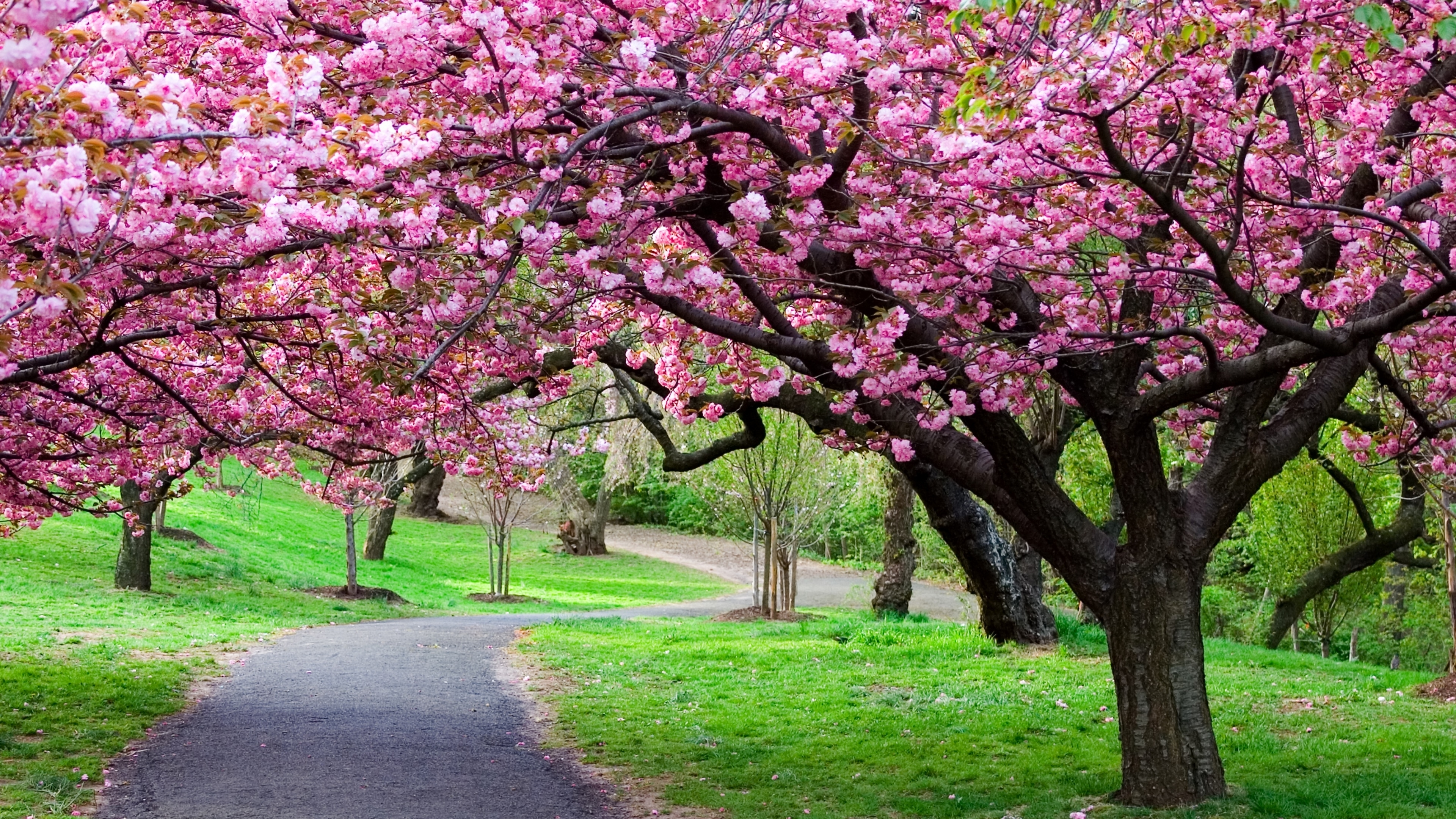 233 cherry blossom hd wallpapers   background images - wallpaper abyss