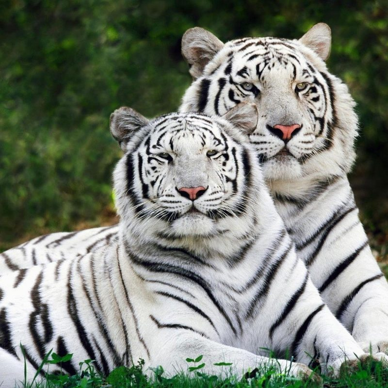 10 Latest White Tiger Hd Wallpapers 1080P FULL HD 1080p For PC Desktop 2018 free download 234 white tiger hd wallpapers background images wallpaper abyss 1 800x800