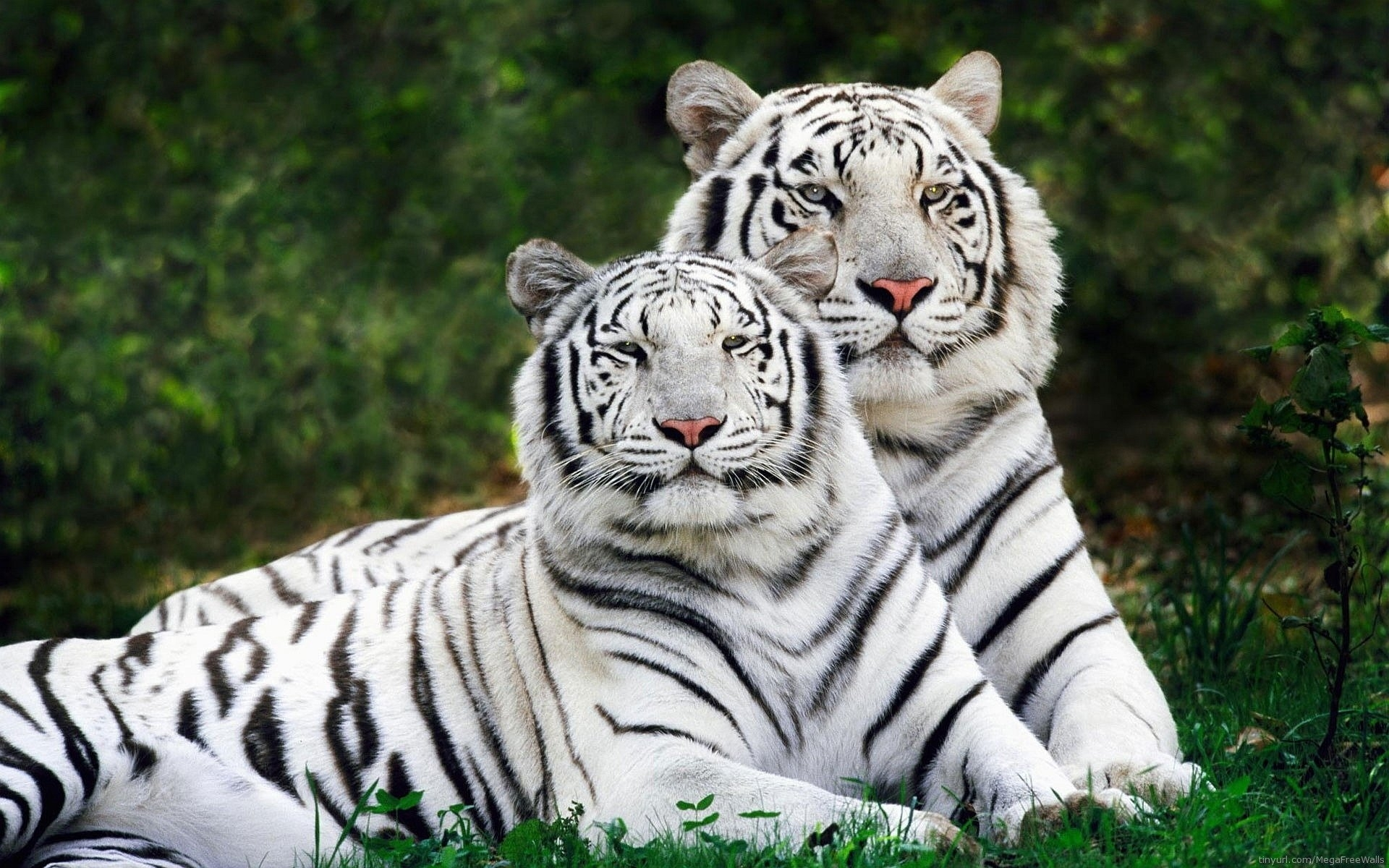 10 Latest White Tiger Hd Wallpapers 1080P FULL HD 1080p For PC Desktop