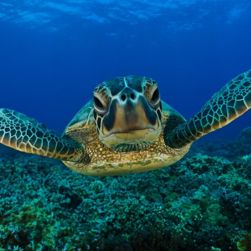 10 Top Sea Turtle Hd Wallpaper FULL HD 1920×1080 For PC Desktop 2018 free download 245 turtle hd wallpapers background images wallpaper abyss 800x800