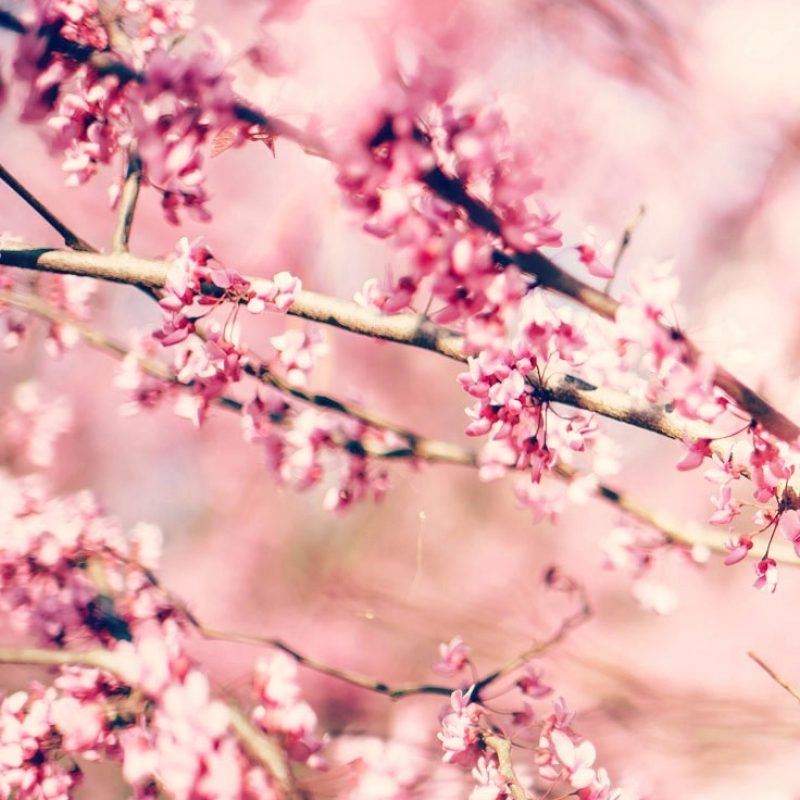 10 Top Cherry Blossoms Iphone Wallpaper FULL HD 1080p For PC Background 2021 free download 27 floral iphone 7 plus wallpapers for a sunny spring preppy 1 800x800