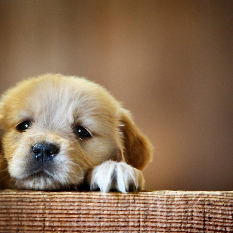 10 New Cute Baby Dogs Wallpaper FULL HD 1920×1080 For PC Desktop 2018 free download 2750 cute dog wallpapers for desktop 1 800x800
