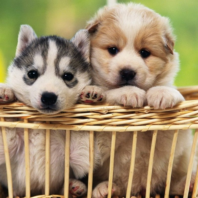 10 New Cute Baby Dogs Wallpaper FULL HD 1920×1080 For PC Desktop 2018 free download 3742 dog hd wallpapers background images wallpaper abyss 800x800
