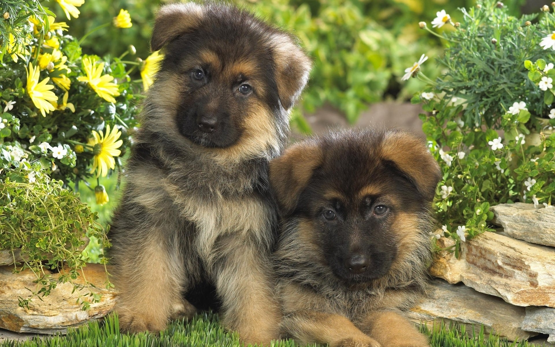 380 german shepherd hd wallpapers | background images - wallpaper abyss