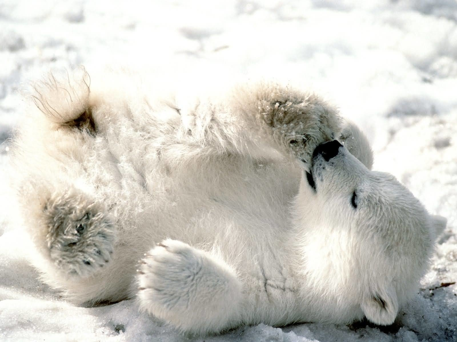 386 polar bear hd wallpapers | background images - wallpaper abyss