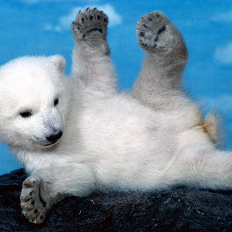 10 New Cute Polar Bear Wallpaper FULL HD 1920×1080 For PC Background 2018 free download 386 polar bear hd wallpapers background images wallpaper abyss 3 800x800