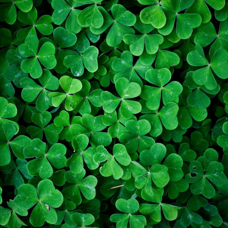 10 Top Four Leaf Clover Wallpaper FULL HD 1920×1080 For PC Background 2020 free download 4 leaf clover wallpaper 46 images 1 800x800