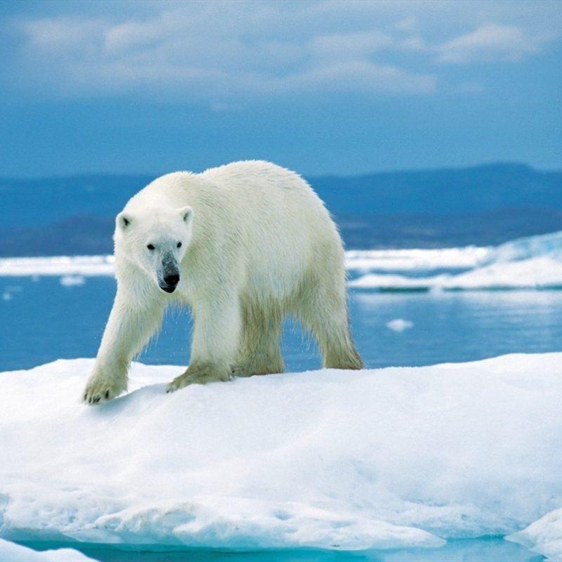 10 Best Polar Bear Desktop Wallpaper FULL HD 1920×1080 For PC Background 2018 free download 42 polar bear desktop wallpaper 1 800x800