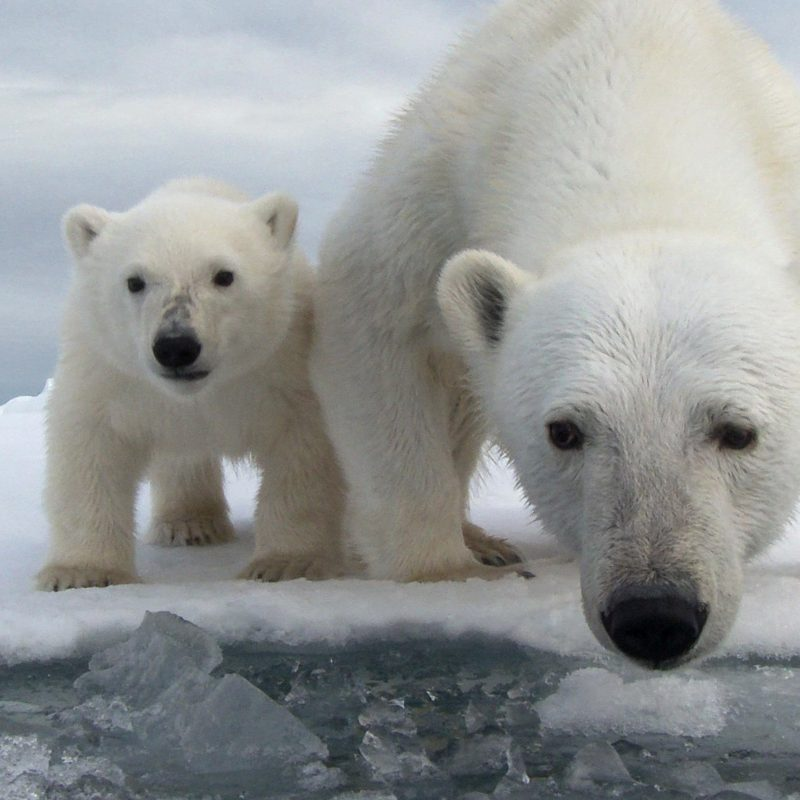 10 Best Polar Bear Desktop Wallpaper FULL HD 1920×1080 For PC Background 2018 free download 42 polar bear desktop wallpaper 800x800