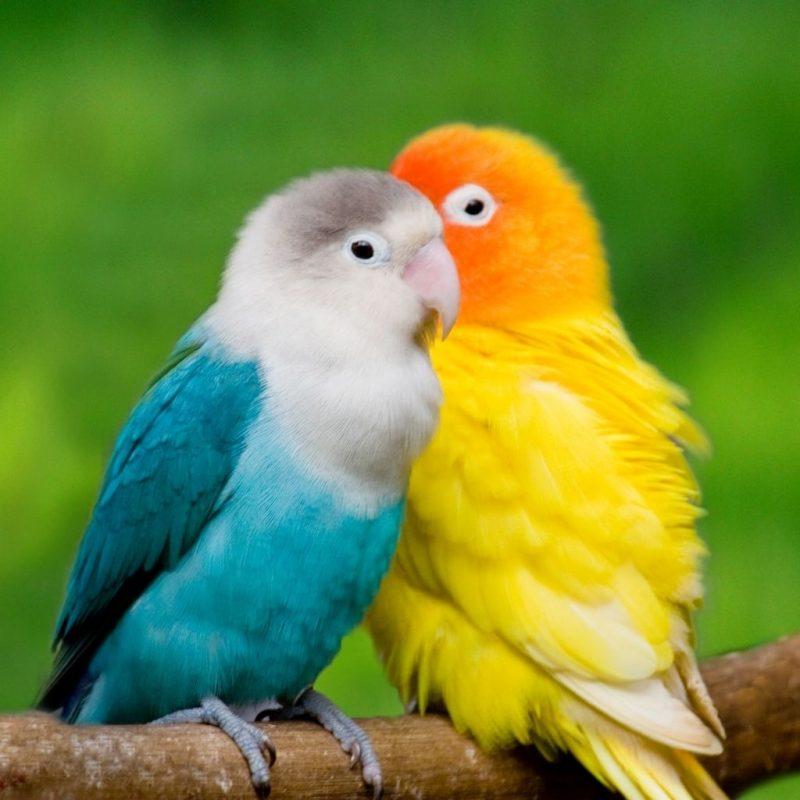 10 New Beautiful Wallpapers Of Love Birds FULL HD 1920×1080 For PC Desktop 2020 free download 48 love birds wallpapers hd quality love birds images love birds 800x800