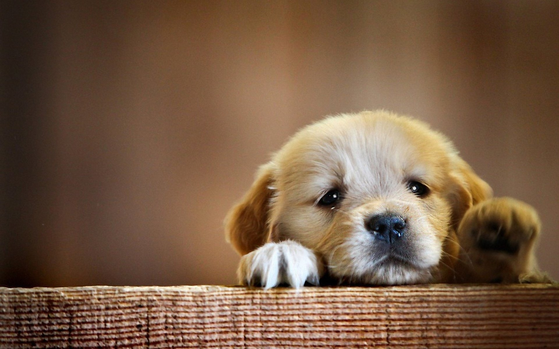 551 puppy hd wallpapers | background images - wallpaper abyss