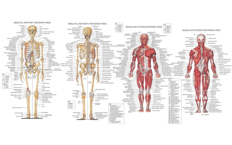 10 New Human Anatomy Wallpaper FULL HD 1920×1080 For PC Desktop 2020 free download 66 anatomy hd wallpapers background images wallpaper abyss 800x500
