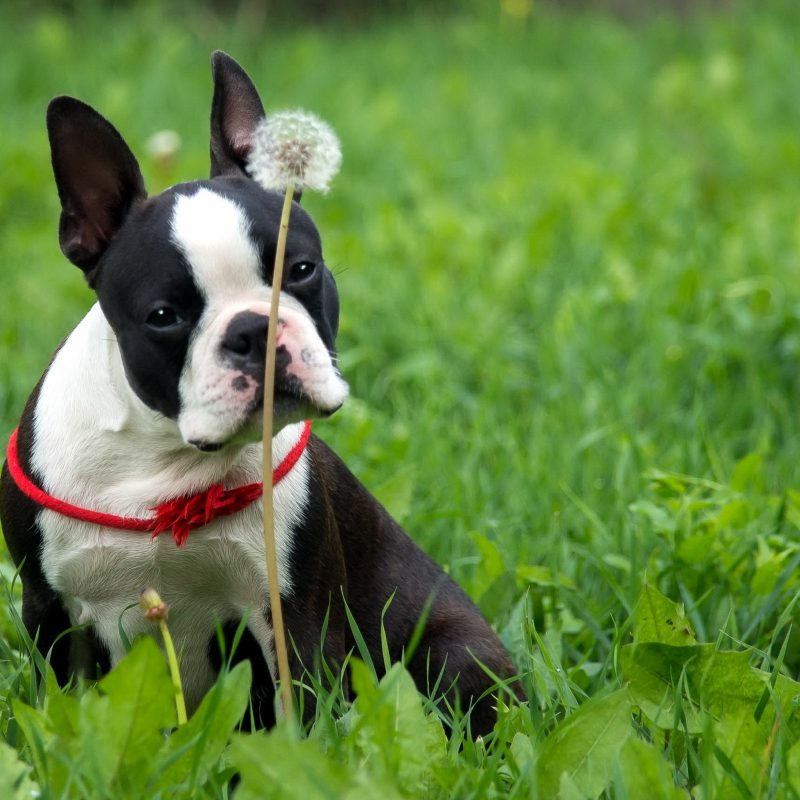 10 Best Boston Terrier Desktop Wallpaper FULL HD 1920×1080 For PC Background 2018 free download 7 boston terrier fonds decran hd arriere plans wallpaper abyss 800x800