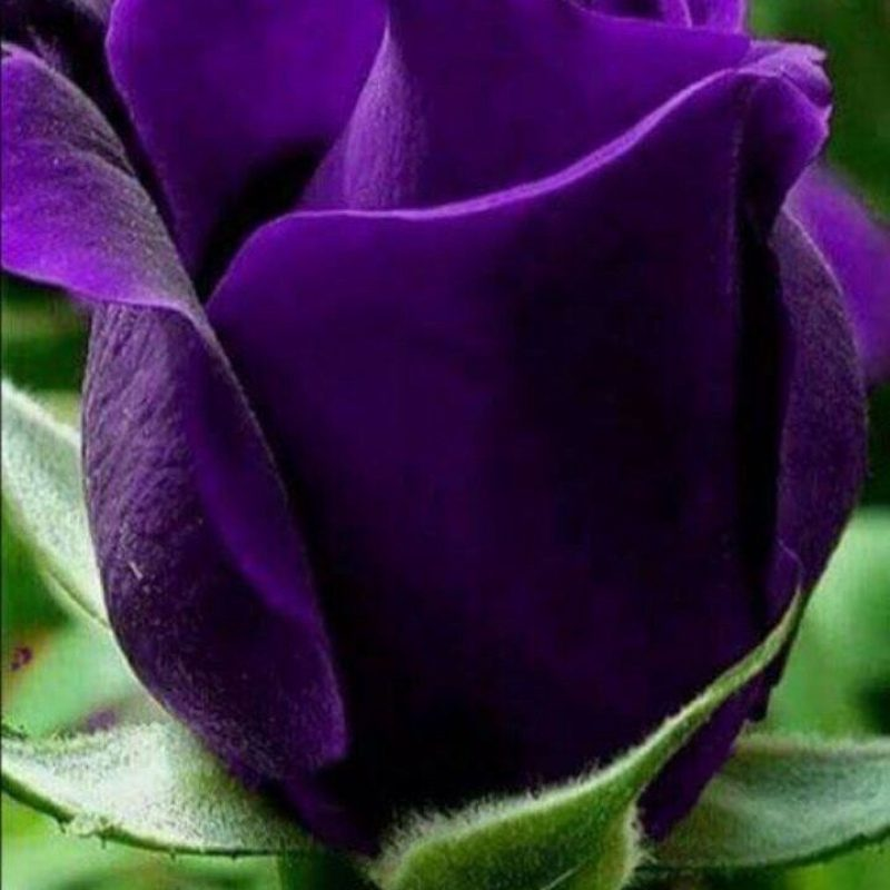 10 Latest Photos Of Purple Roses FULL HD 1920×1080 For PC Background 2018 free download 70 beautiful purple flowers care growing tips purple garden 800x800