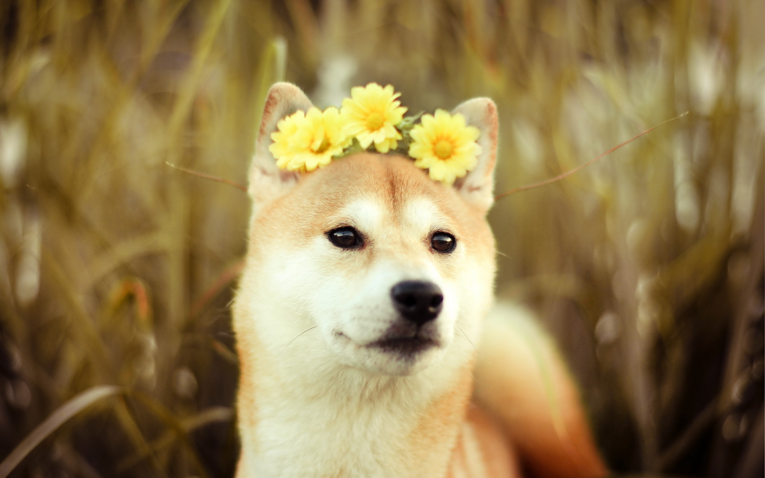 73 shiba inu hd wallpapers | background images - wallpaper abyss