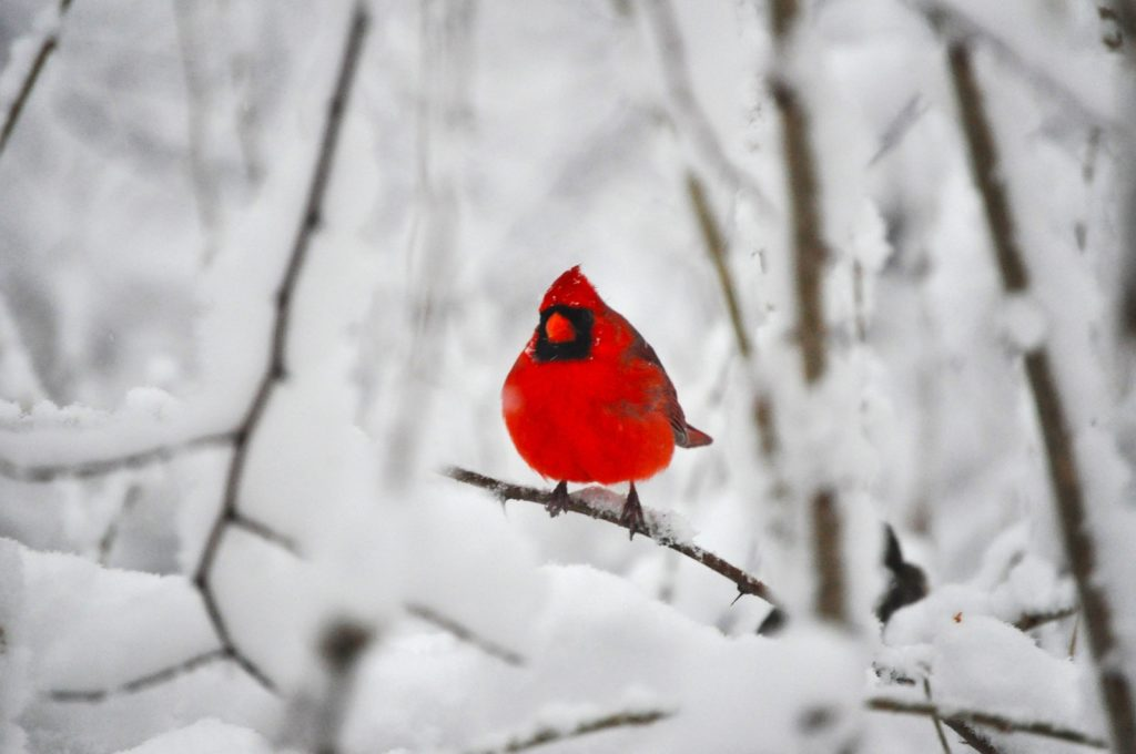10 Most Popular Cardinal In Snow Pictures FULL HD 1920×1080 For PC Background 2020 free download a cardinal in the snowyobyaxes on deviantart 1024x680