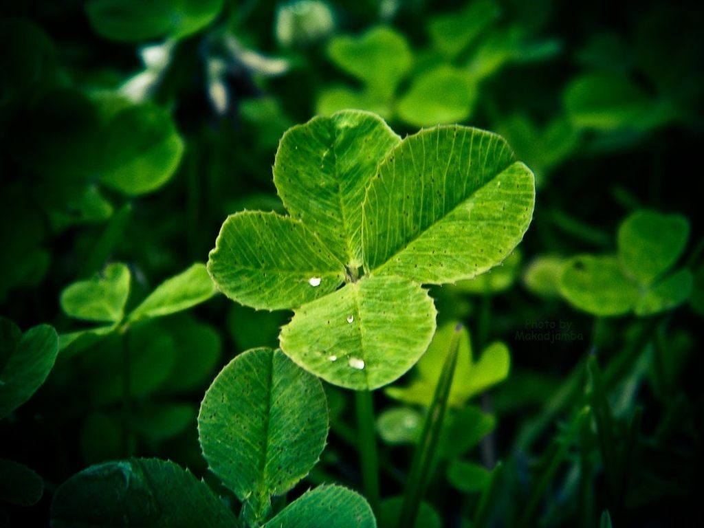 10 Latest 4 Leaf Clover Wallpapers FULL HD 1080p For PC Background 2018 free download a four leaf cloversmakadjamba on deviantart 1024x768