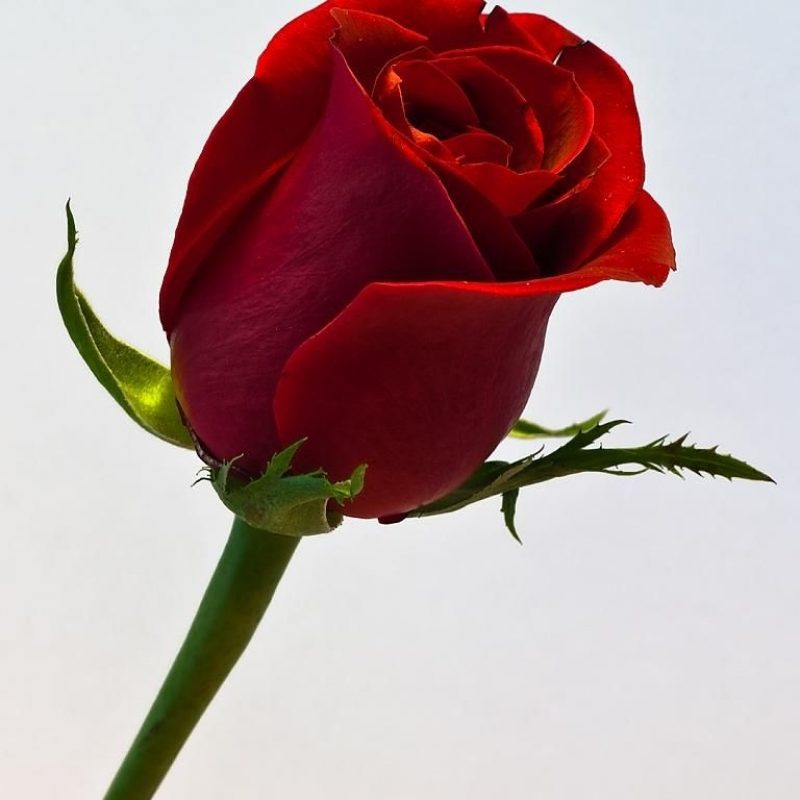 10 New Picture Of A Single Red Rose FULL HD 1920×1080 For PC Desktop 2018 free download a single red rose my hubby has sent me a single red rose every 800x800