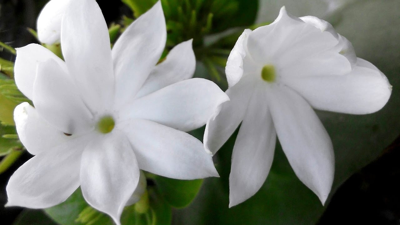 10 Top Picture Of Jasmine Flower FULL HD 1080p For PC Desktop