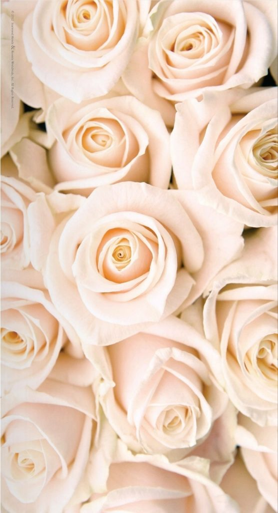 10 New White Roses Background Tumblr FULL HD 1080p For PC Desktop 2020 free download ana rosa this is the color rose i want for our wedding wedding 556x1024