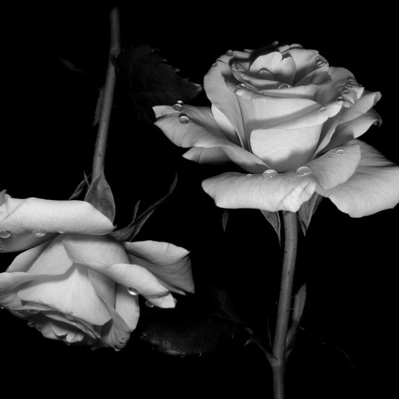 10 Best Black And White Roses Wallpaper FULL HD 1080p For PC Desktop 2018 free download and white roses wallpaper black for iphone hd images gipsypixel 800x800