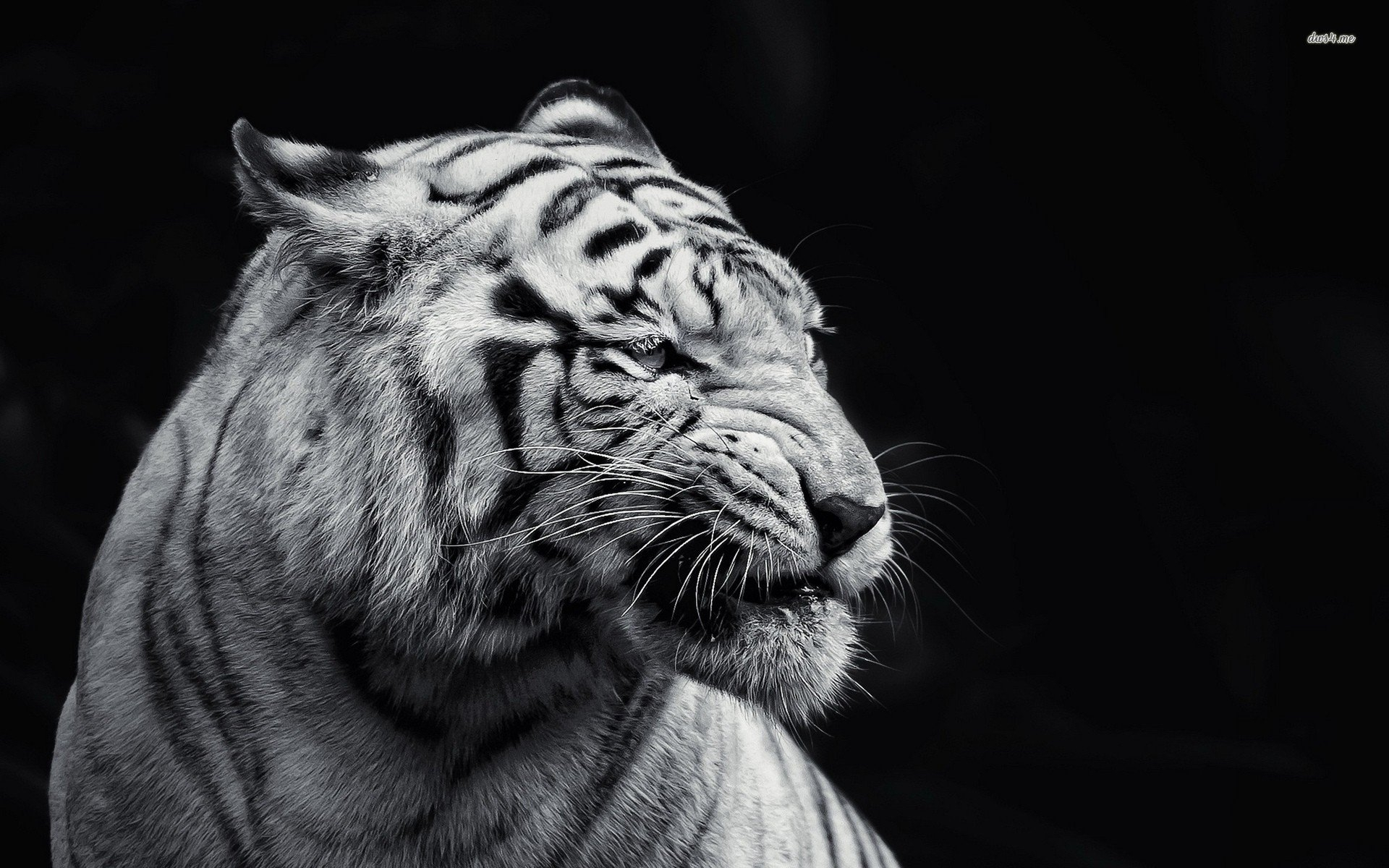 10 Best Angry Lion Wallpaper Black And White Full Hd 1080p For Pc