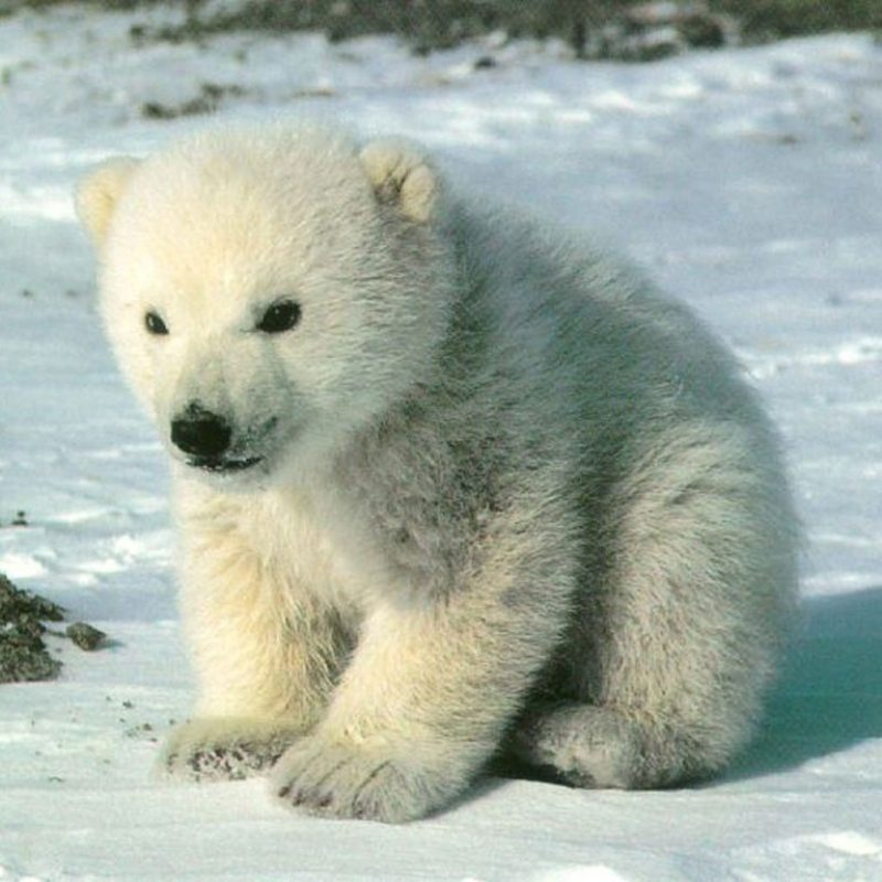 10 New Cute Polar Bear Wallpaper FULL HD 1920×1080 For PC Background 2018 free download animal cubs images cute polar bear cub hd wallpaper and background 800x800
