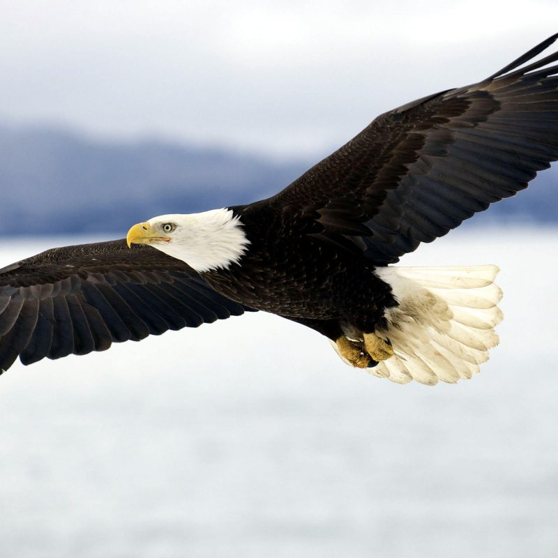 10 New Bald Eagle Wallpaper High Resolution FULL HD 1080p For PC Background 2020 free download animal eagle wallpapers desktop phone tablet awesome desktop 800x800
