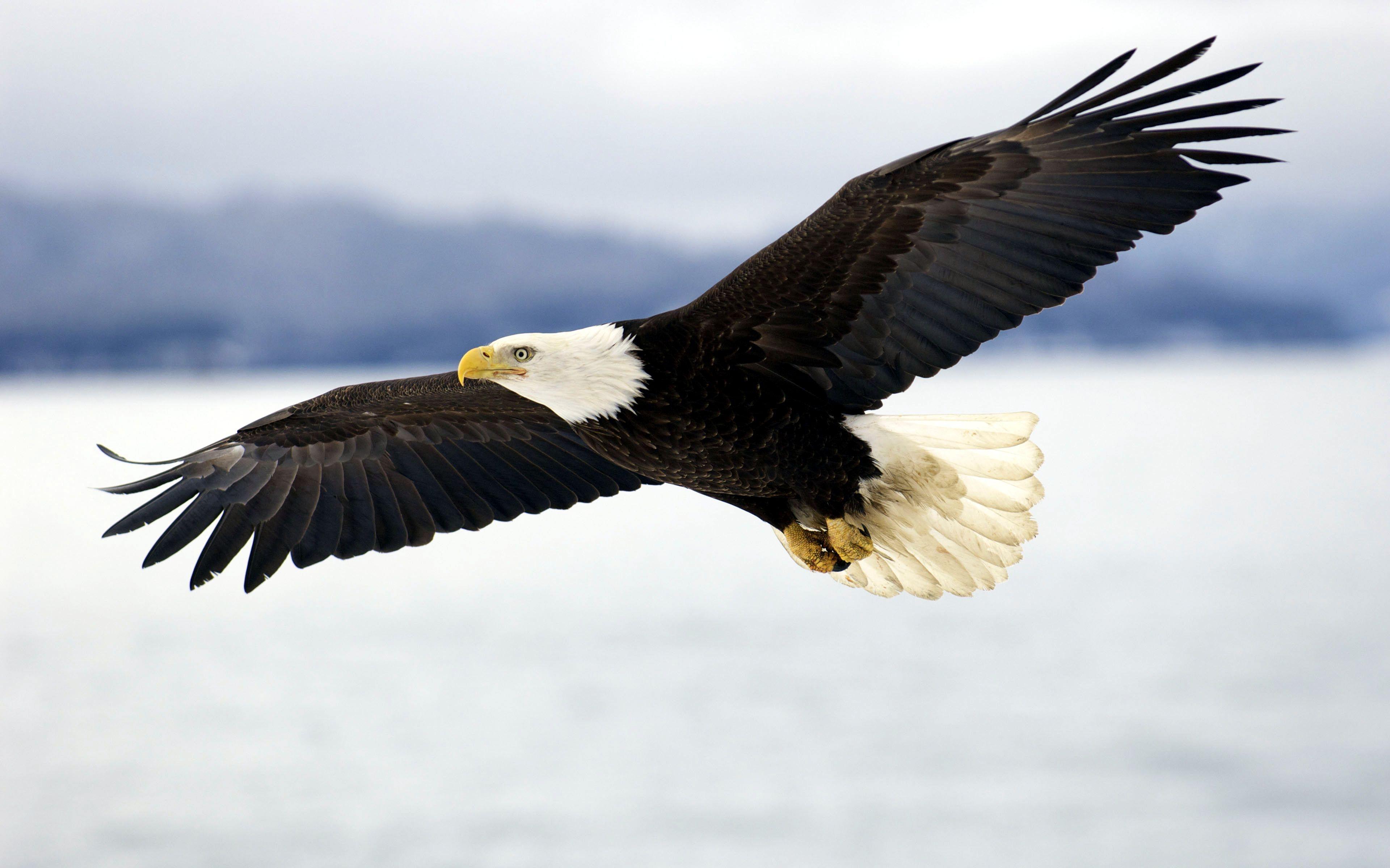 animal eagle wallpapers (desktop, phone, tablet) - awesome desktop