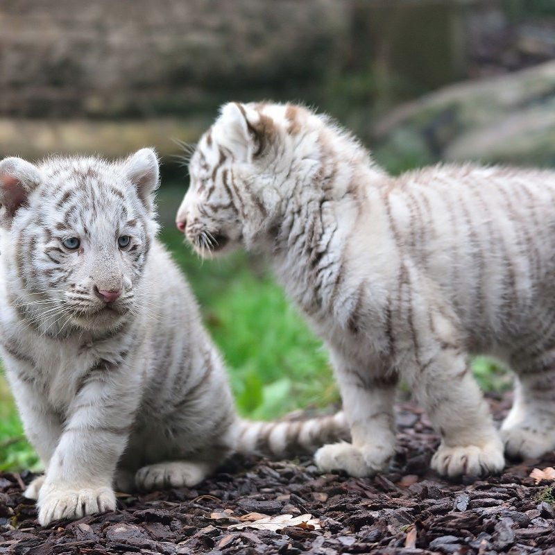 10 Latest Pictures Of Baby White Tigers FULL HD 1080p For PC Background 2018 free download animal white tiger tiger animal baby wallpaper life pinterest 800x800
