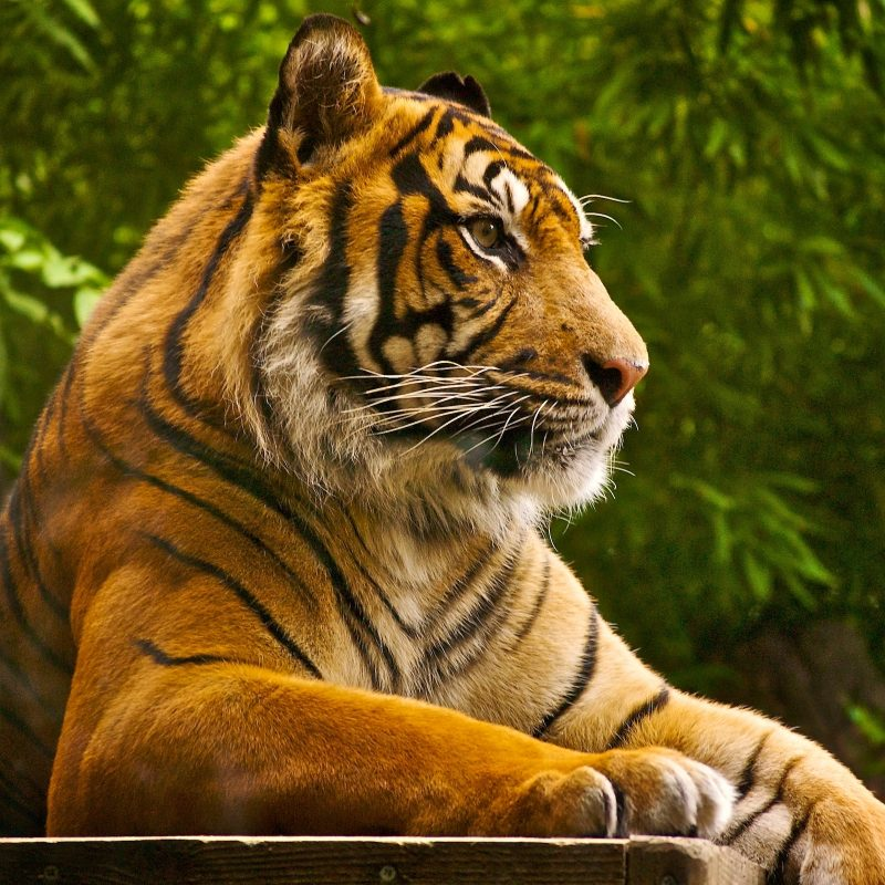 10 New Tiger Wallpaper Hd For Desktop FULL HD 1920×1080 For PC Desktop 2018 free download animals birds wild tiger wallpapers desktop phone tablet 800x800
