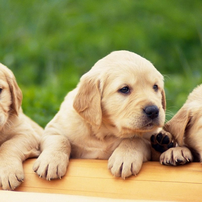 10 New Puppies Wallpaper For Desktop FULL HD 1080p For PC Background 2018 free download animals birds yellow labrador puppy wallpapers desktop phone 800x800