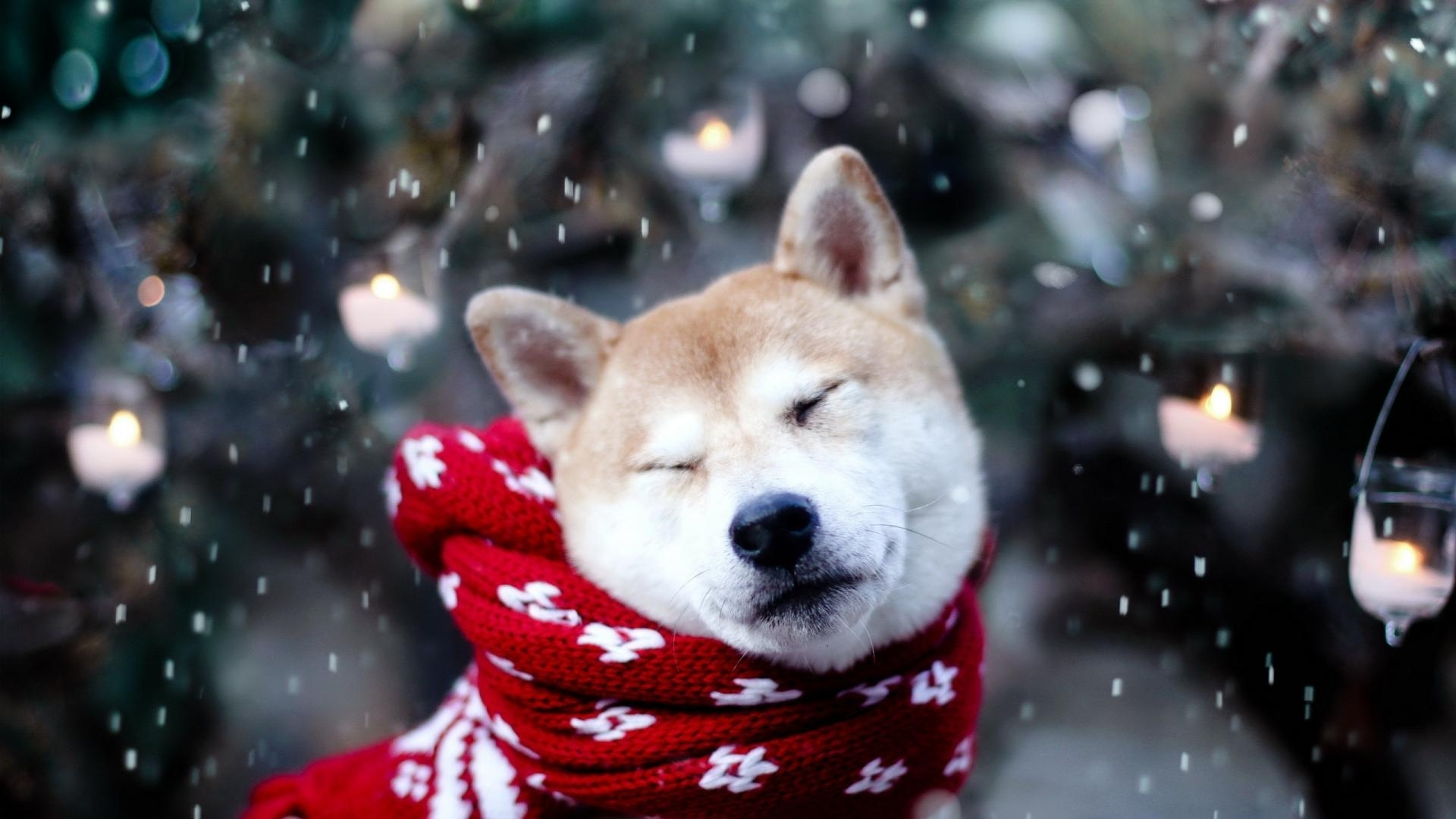 animals dogs shiba inu wallpaper | (116742)