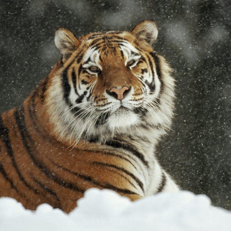 10 Most Popular Siberian Tiger Wallpaper Hd 1080P FULL HD 1920×1080 For PC Desktop 2018 free download animals siberian animals tiger wallpapers hd animal for hd 169 800x800