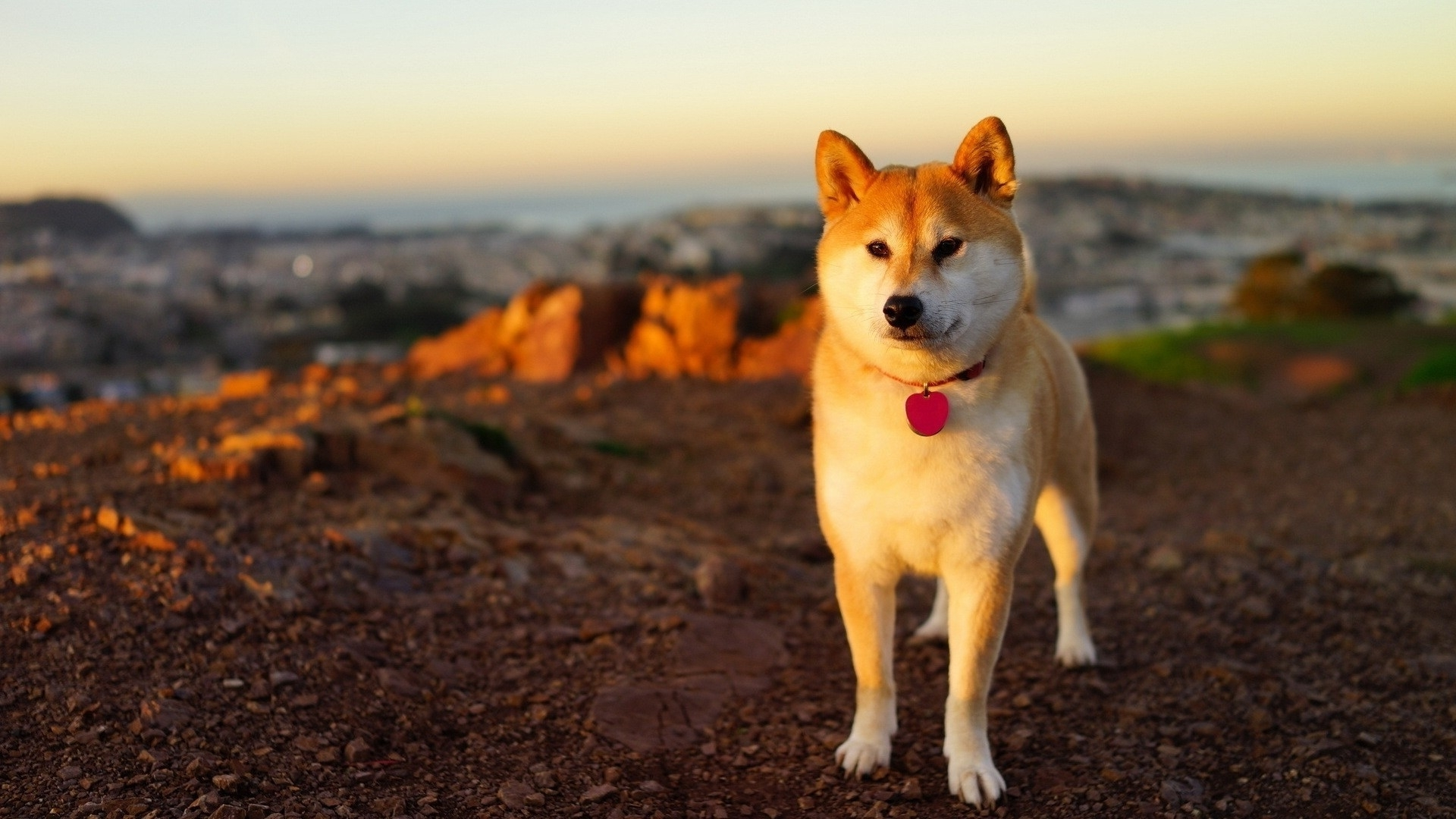 anime dog shiba inu wallpapers hd / desktop and mobile backgrounds
