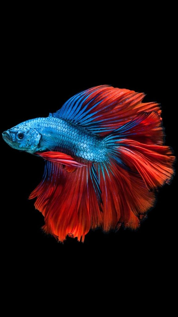 10 Latest Fishing Backgrounds For Iphone FULL HD 1080p For PC Background 2018 free download apple iphone 6s wallpaper with red and blue betta fish and dark 576x1024