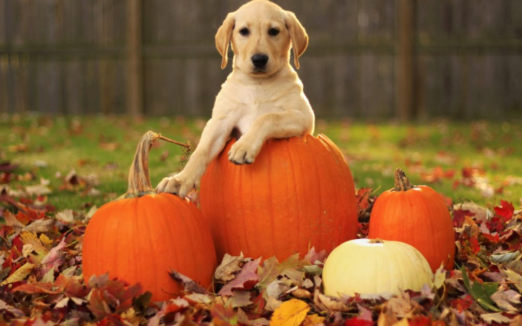 10 Latest Fall Wallpaper With Pumpkins FULL HD 1920×1080 For PC Background 2021 free download autumn free wallpaper a pumpkin and a dog 2560x1600 93091 1024x640