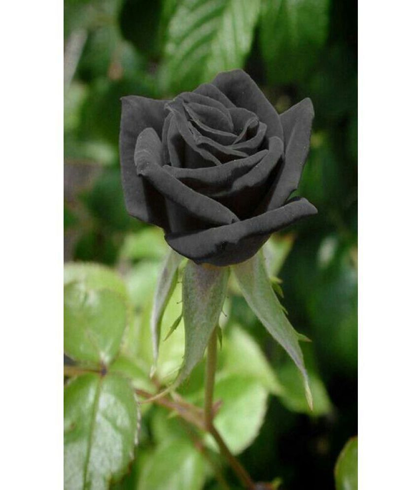 azalea garden rare black rose 1 healthy live outdoor flower plant