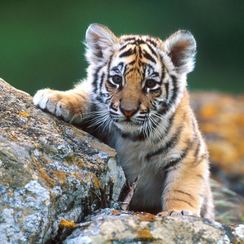 10 New Baby Animals Wallpaper Hd FULL HD 1920×1080 For PC Desktop 2018 free download baby animal hd wallpaper baby animal pictures new wallpapers 2 800x800