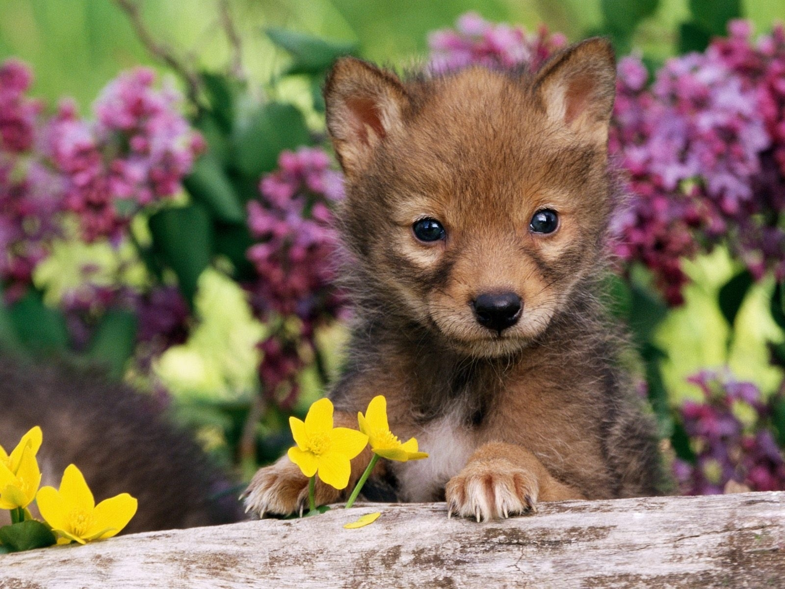 baby animals wallpapers for free download about (935) wallpapers.