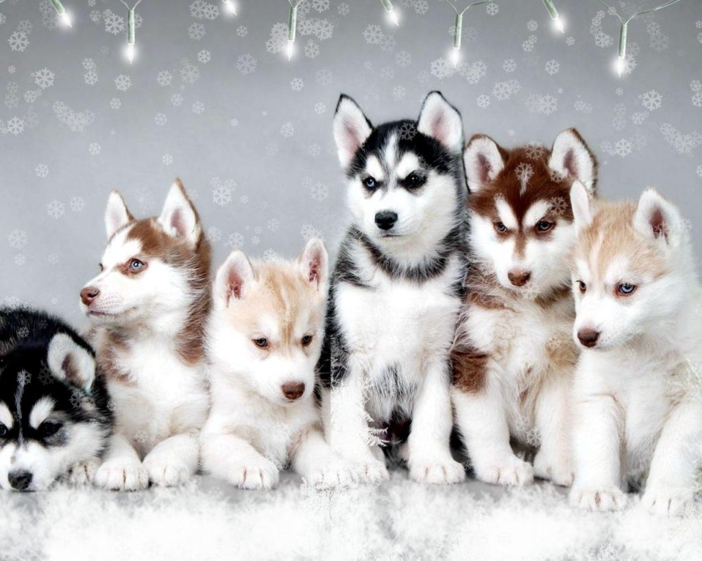 10 Top Images Of Baby Huskies FULL HD 1080p For PC Desktop 2018 free download baby huskies husky 1024x819