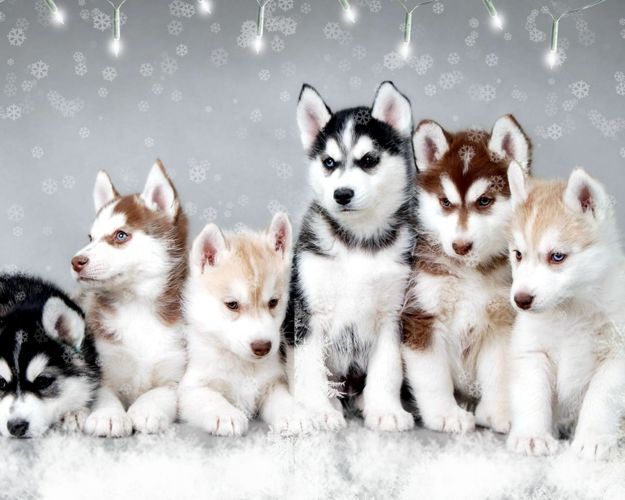 baby huskies : husky